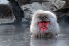 Snow Monkey Taking Bath in Hot Spring Water  author: skyearth mufc