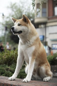 Hachi, the Loyal Akita, waited 9 years for his master, Professor Ueno, who had died at work one day. Every day at the train station the loyal Hachiko waited...and waited...and waited. Hachi was so loyal to to the Professor, he has a statue at the exact place he waited, so in a way...Hachiko is still waiting...forever and ever still