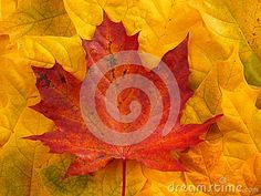 Autumn red and yellow colored leaves background