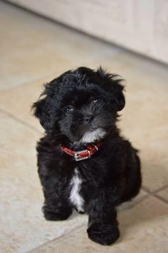 Some of the things we respect about the Shih Tzu Puppies Shipoo Puppies, Havanese Puppies, Teacup Puppies, Cute Puppies, Cute Dogs, Dogs And Puppies, Doggies, Shih Poo, Shih Tzu Puppy