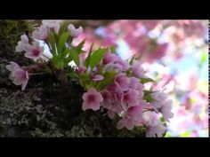 Frédéric Chopin - Spring Waltz March 2016 First Day of Spring! Kinds Of Music, Music Is Life, My Music, Beautiful Nature Spring, Beautiful World, Beautiful Gif, Amazing Nature, Beautiful Flowers, Bbc Planet Earth
