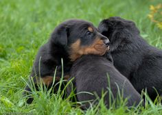 Beauceron Pictures | Beauceron Puppy Pictures | Herding Dog Puppy Pictures