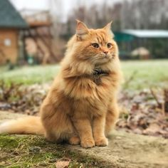 '~katarina~cause. We Love Cats - aww-so-pretty: This Siberian cat is a majestic. Siberian Forest Cat, Siberian Cat, Yellow Cat, Orange Cats, Pretty Cats, Beautiful Cats, Maine Coon, Amor Animal, Gatos Cats