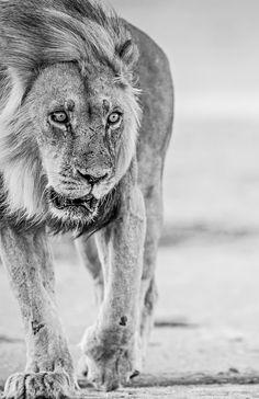 Lion Black And White by Bridgena Barnard on 500px