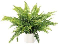Kaarisulkasaniainen 'Green Lady' non toxic to cats Hanging Plants, Indoor Plants, Cat Safe Plants, Cozy House, Cactus Plants, Feng Shui, House Plants, Planting Flowers, Flora