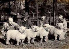 My Grandfather's Champion Southdown Sheep. Babydoll Sheep, Sheep Breeds, Barnyard Animals, Cute Sheep, Baby Lamb, Sheep And Lamb, Counting Sheep, My Happy Place, My Animal