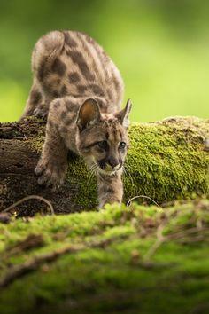 ~~Little Hunter ~ Puma kitten by Pavel Blažek~~