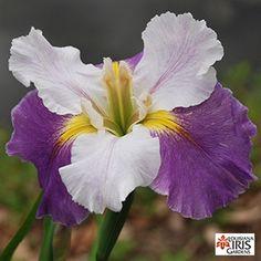 Hope and Glory - Louisiana Iris Gardens Iris Flowers, Flowers Nature, Louisiana Iris, Iris Garden, Most Beautiful Flowers, Planting Bulbs, Irises, Bellisima, Orchids