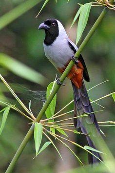 Collared treepie (Dendrocitta frontalis)