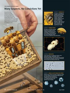 "Colony Collapse Disorder [ROLE: illustration and page design; PRODUCT: ""Saving the Honeybee,"" By Diana Cox-Foster and Dennis VanEngelsdorp, Scientific American, April 2009; © Scientific American; (associated photos from top to bottom: Heidi and Hans-Jurgen Koch, Minden Pictures; Andrew Syred, Photo Researchers, Inc.; Central Science Laboratory, Photo Researchers, Inc.; Courtesy of Barton Smith, Jr. USDA Bee Research Laboratory)]"