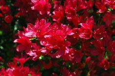 Rhododendron  'Hino-red' -20F (Hino-crimson x yedoense var. poukhanense) x (kaempferi seedling x James Gable) by Shammarello