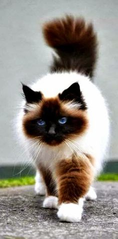 so pretty…… Himalayan cat – Himalayan cats are the result of crossbreeding Siamese with Persian cats. so pretty…… Himalayan cat – Himalayan cats are the result of crossbreeding Siamese with Persian cats. Pretty Cats, Beautiful Cats, Animals Beautiful, Stunningly Beautiful, Pretty Kitty, Unusual Animals, Most Beautiful Cat Breeds, Hello Beautiful, Beautiful Babies