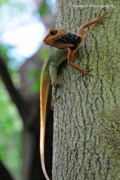 Oriental Garden Lizard  by Manish Sharma