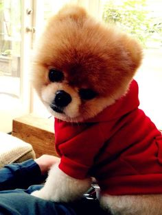 Boo the dog <3 he's like a little bear!   Can't wait for his children's book to come out.