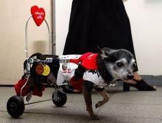 Wheely Willy. Чихуа́хуа — самая маленькая порода собак, названная в честь мексиканского штата Чиуау. Эта разъезжает на дизайнерской каталке по книжному магазину в Токио.