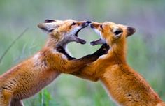 Red Fox kits duking it out by Merle Ann Loman