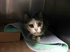 GINA A1079314. TO BE DESTROYED 07/29/16 *** SECOND CHANCE FOR SWEETHEART GINA TONIGHT!! Instead of giving her a home, they gave her a cold….and killed some of her housemates…Already a victim of hoarding, GINA has had a tough enough life to see it end now!! GINA is AVERAGE rated. But she is also scared and needs someone in her corner who will give her the time and love she needs!! DON'T LET HER DOWN. SECOND CHANCES ARE RARE….