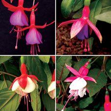 Luxe Hardy Fuchsia Collection 24pk