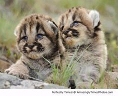 Baby Mountain Lion | Amazingly Timed Photos