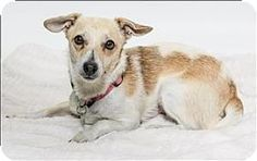 San Luis Obispo, CA - Chihuahua/Dachshund Mix. Meet Lulu a Dog for Adoption.