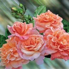 1000 images about roses on pinterest rostock shrub roses and roses. Black Bedroom Furniture Sets. Home Design Ideas