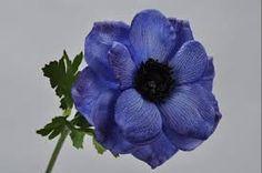 Imagini pentru anemone albastre