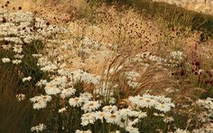 London 2012: The Olympic Park in bloom.  Shasta daisies intermingled with grasses and the red bobbles of sanguisorba.  Picture: SARAH PRICE