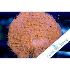 Fungia Ultra Orange Fluo  Sp. WYSIWYG
