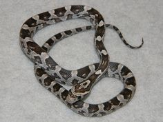 Anerythristic Corn Snakes for Sale. Buy a Anerythristic Corn Snake. Corn Snakes For Sale, Colorful Snakes, Shadow Dragon, Reptiles And Amphibians, Noodles, Washer Necklace, Lavender, Christmas Gifts, Fish