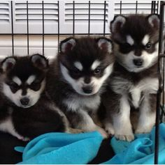 This is my gorgeous puppy Mikko and his siblings. He is an Alaskan Klee Kai, a mini husky breed. He will only get to be 17 inches tall!  #alaskankleekai #kleekai #minihusky