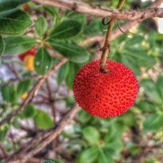 Autumn in red. (L'allegria dei corbezzoli che colorano l'autunno di sorprese rosse. Li adoro). #strawberrytree #corbezzolo #nature #plant #berries #red #green #sardegna #instagood #sardinien #sardinia #garden #home