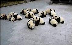 Baby pandaaaaaas !!!! *O*