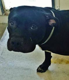 08/31/15-*URGENT* PUPPY ALERT**  FROM HOARDING CASE** So many strikes against her, she is black, she's scared, she came in with a bunch of her siblings from a hoarding situation and the shelter is Full. Even with all that she still has a chance with your help. Please SHARE for her life, a FOSTER and RESCUE would save her. Thanks!  #A4869433 I'm an  1 year old female pit bull. at the Carson Animal Care Center since August 22, 2015.