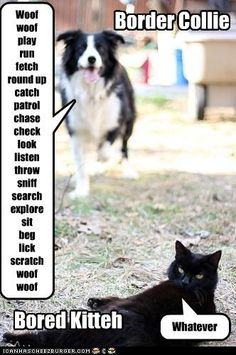 Border collie and bored kitteh Border Collie Humor, Border Collie Puppies, Collie Dog, Border Collies, Animals And Pets, Funny Animals, Animal Funnies, Best Dog Breeds, Best Dogs