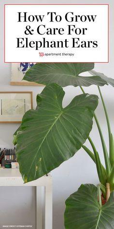 Elephant Ear Plant Indoor, Elephant Plant, Plante Alocasia, Alocasia Plant, Outdoor Plants, Garden Plants, Permaculture, Arreglos Ikebana, Snake Plant Care