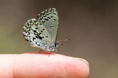 Like other Lycaenid butterflies the Spring Azure forms close associations with ants. The ants protect the caterpillars from predators in exchange for a sweet substance called honeydew. http://ift.tt/1SGrV4j