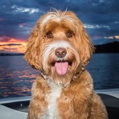 Reagan the Australian Labradoodle Dog in the Beautiful Sunset on the West Coast River