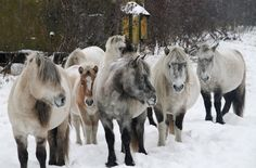artic horses