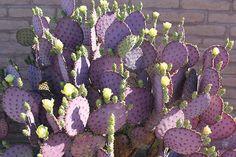 Opuntia violaceae Purple Santa Rita Prickly Pear Cactus Plant Pad Cuttings Lot 3