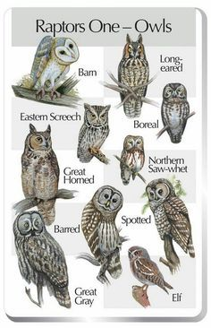 Raptors One (Owls) Barn Owl Eastern Screech Owl Great Horned Owl Barred Owl Great Gray Owl Long-eared Owl Boreal Owl Northern Saw-whet Owl Spotted Owl Elf Owl Please note: This songcard requires a Birdsong Identiflyer ( in order to play songs. Owl Photos, Owl Pictures, Beautiful Owl, Animals Beautiful, Owl Bird, Pet Birds, Photo Animaliere, Barred Owl, Screech Owl