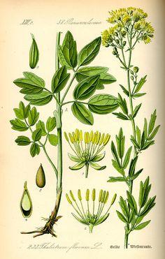 Flora von Deutschland Österreich und der Schweiz (1885). Ängelhein. Thalictrum flavum