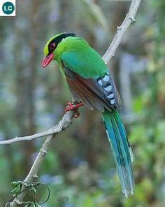 https://www.facebook.com/WonderBirds-171150349611448/?ref=hl Chim Giẻ Cùi xanh; Họ Quạ-Corvidae; đông-bắc Ấn Độ và Đông Nam Á    Common green magpie (Cissa chinensis) IUCN Red List of Threatened Species Species 3.1 : Least Concern (LC)(Loài ít quan tâm)