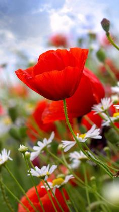 field of flowers . poppies and daisies Meadow Flowers, Red Flowers, Beautiful Flowers, Wildflowers, Beautiful Nature Pictures, Arte Floral, Flower Planters, Flower Pictures, Exotic Flowers