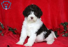 Look at this beautiful pup! She is a Labradoodle waiting to meet her new best pal. F1b Labradoodle, Labradoodle Puppies For Sale, Labradoodles, Mountain Dogs, Bernese Mountain, Baby Puppies For Sale, Dog Training, Training Tips, Adoptable Beagle