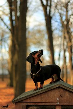 dachshund on a dog house roof in the woods Scottish Terrier, Mini Dachshund, Daschund, Dachshund Humor, Weenie Dogs, Doggies, Little Dogs, Mans Best Friend, Dog Love