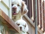 Past Puppies Gallery Clumber Spaniel, Spaniels, Animals And Pets, Cute Animals, Dog Stuff, Dog Love, Past, Labrador Retriever, Creatures