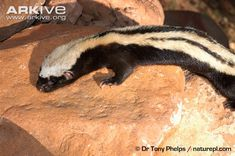 African striped weasel on rock Rainforests, Beautiful Forest, Ferrets, Wild Things, Congo, Animals Beautiful, Mammals, African, Birds