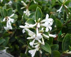 Osmanthus delavayi: This evergreen shrub has a rounded habit and arching branches that are covered with glossy dark green leaves that have serrated margins. From late spring, tubular, white flowers are borne in pendulous clusters and are sweetly fragrant.  Perfect for perfumed gardens and can be used for topiary as well.