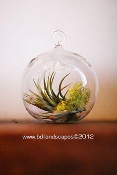 Tillandsia in a glass orb