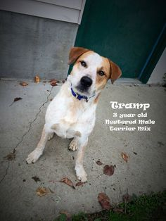 Boone County Animal Shelter in KY... Tramp is a handsome 3 year old Australian Cattledog/Terrier mix who loves nothing more than to play and be loved!